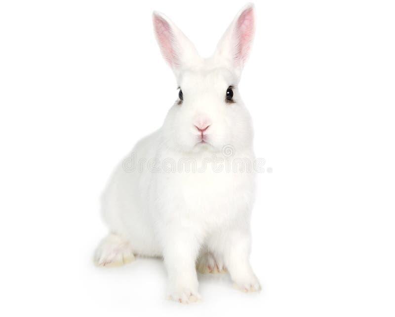 Wit konijntje dat op wit wordt geïsoleerd stock foto's