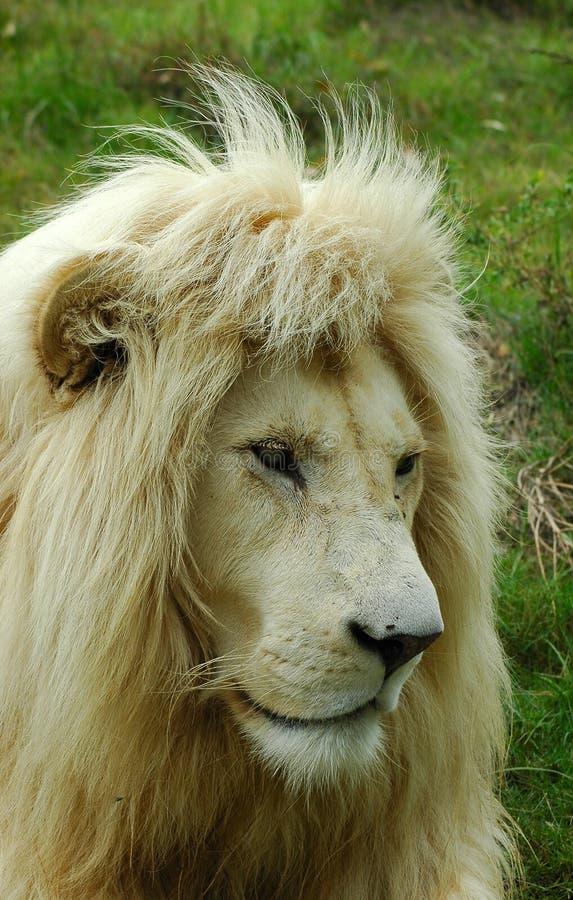 Wit leeuw hoofdportret stock foto's