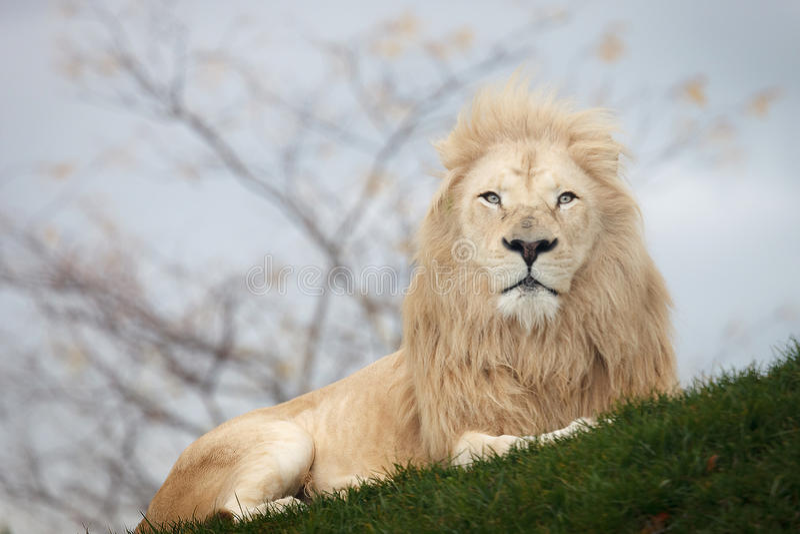 Wit leeuwportret royalty-vrije stock foto's