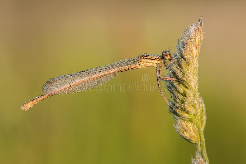 Wit-legged damselfly Platycnemis pennipes stock foto
