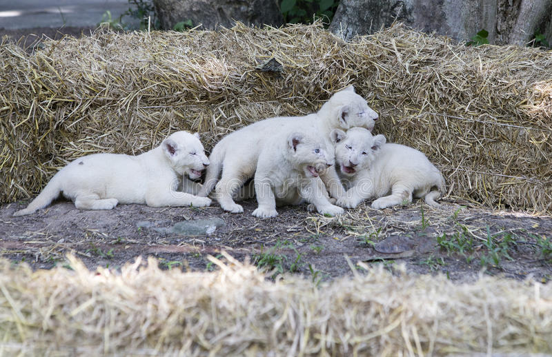 Wit Lion Cubs stock afbeeldingen