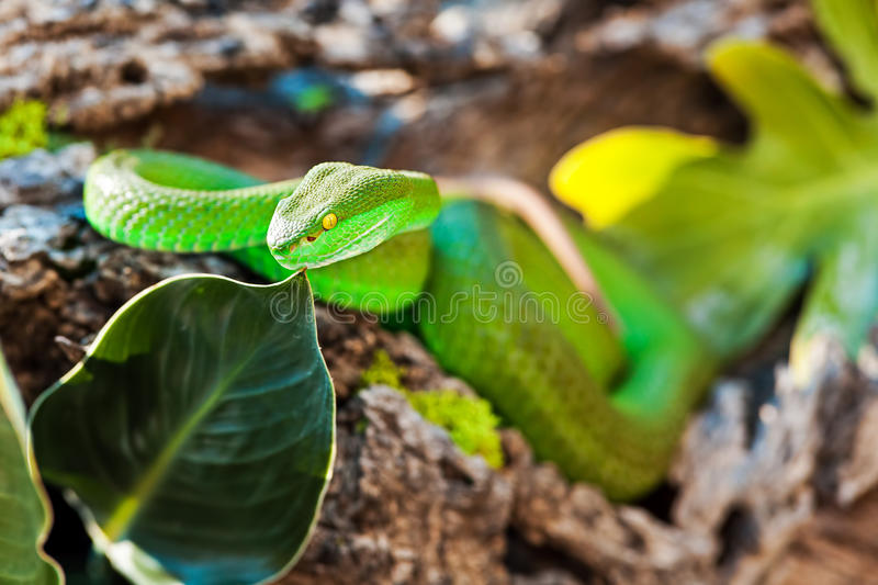 Wit Lipped Pit Viper On Rock stock afbeelding