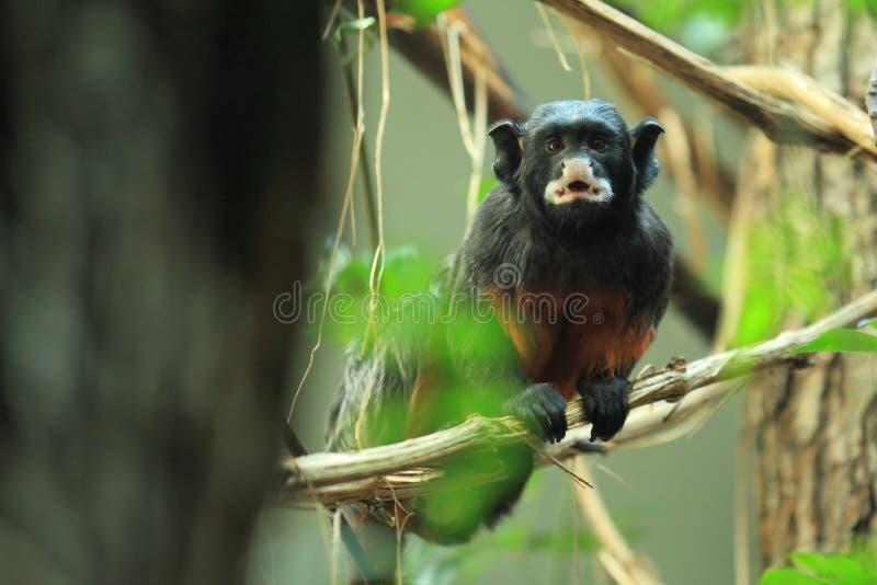 Wit-lipped tamarin royalty-vrije stock fotografie