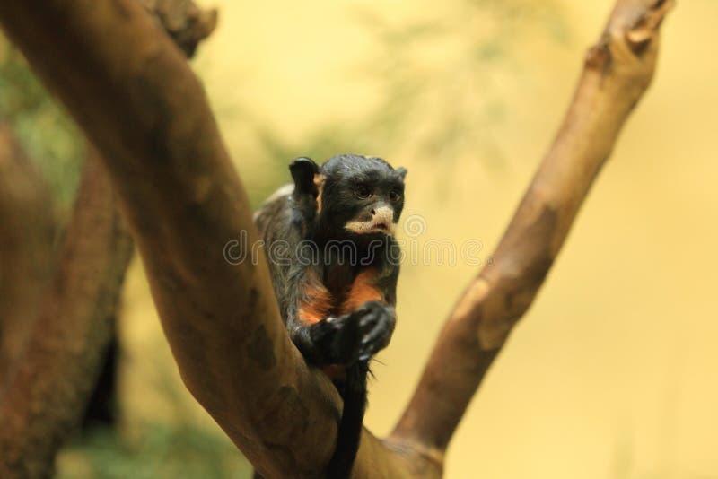 Wit-lipped tamarin stock fotografie