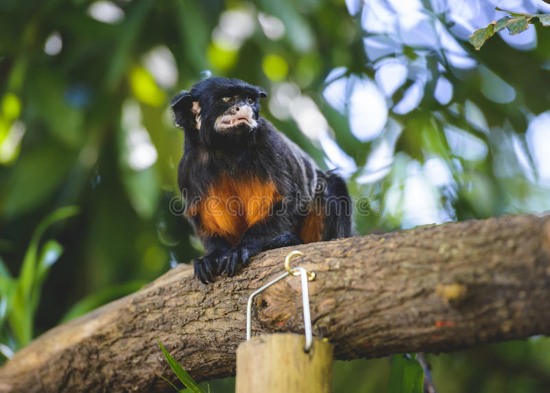 Wit-lipped tamarin royalty-vrije stock foto's