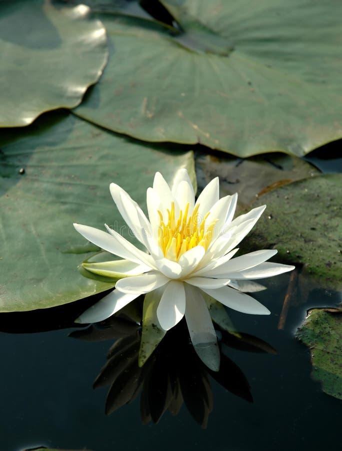 Wit Lotus stock foto