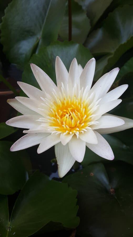 Wit Lotus royalty-vrije stock foto