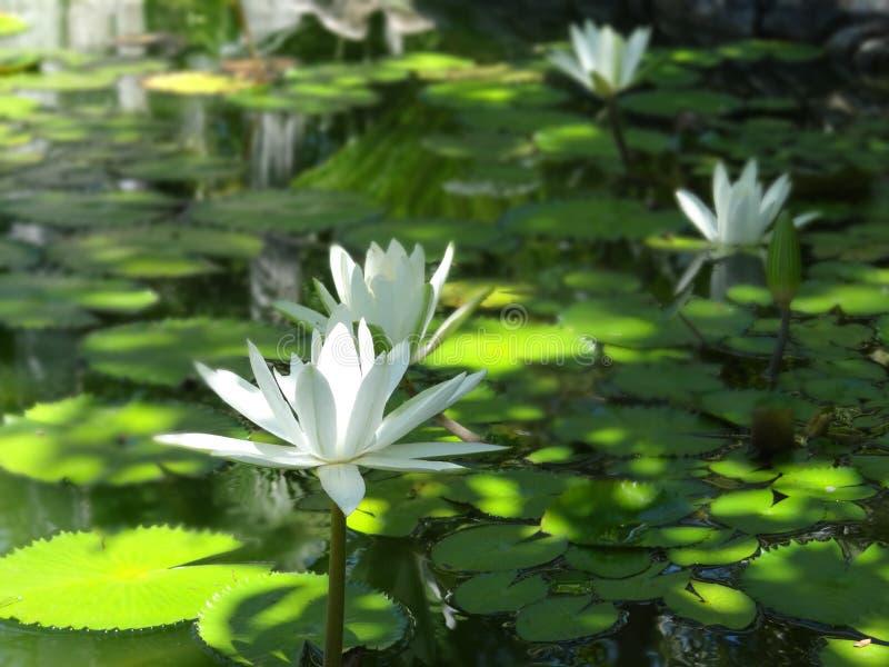 Wit Lotus stock fotografie