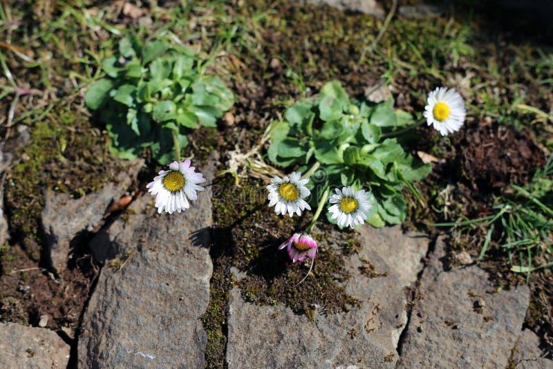 Wit madeliefje-als Wilde Bloemen op een Weide royalty-vrije stock foto's