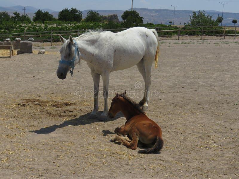 Wit moederpaard en bruin babyveulen stock afbeelding