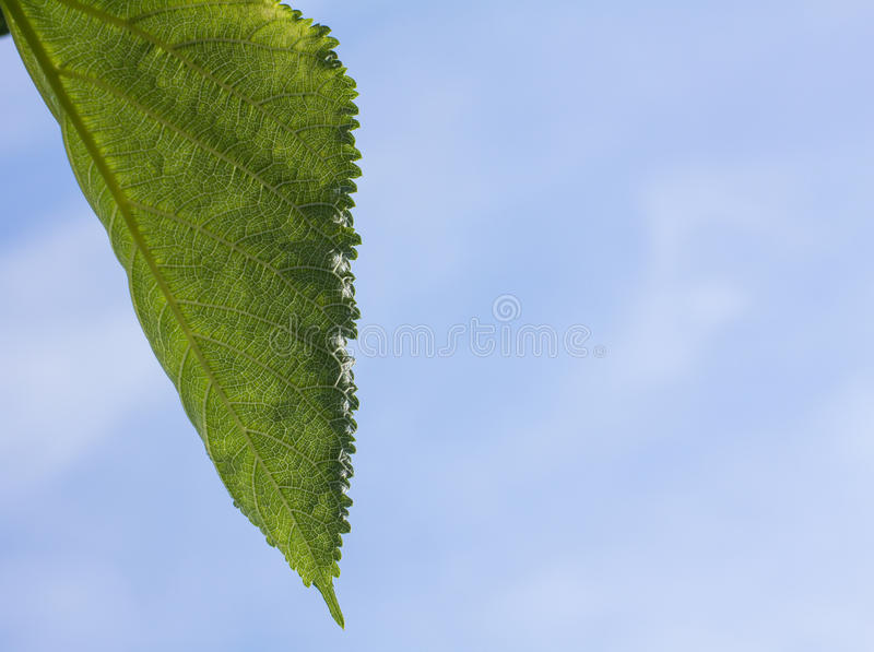 Wit Moerbeiboomblad met blauwe hemelachtergrond stock foto's
