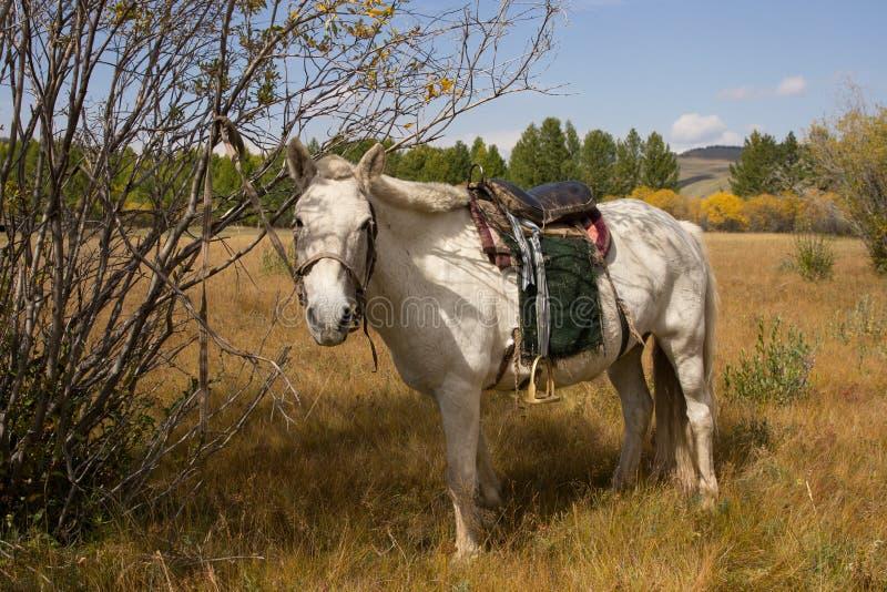 Wit Mongools die paard aan een boom wordt gebonden royalty-vrije stock afbeeldingen