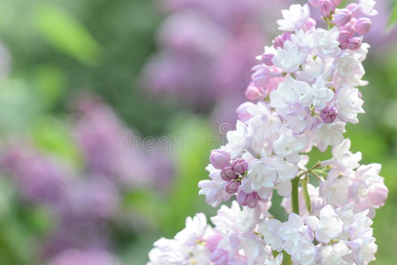 Wit nam liliac bloemen toe stock foto