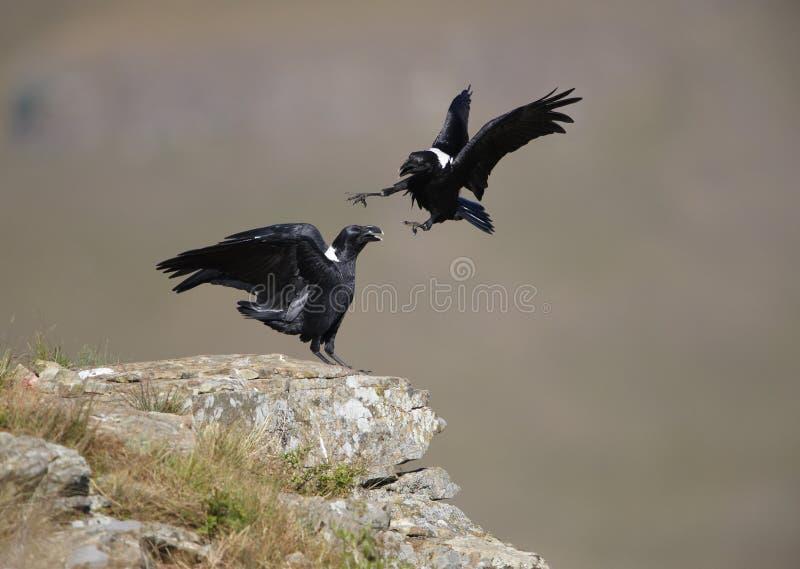 Wit-necked Raven stock foto