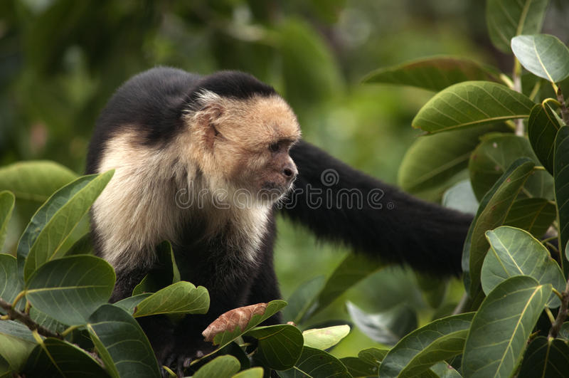 Wit-onder ogen gezien Capuchin Aap, Ometepe, Nicaragua stock afbeelding