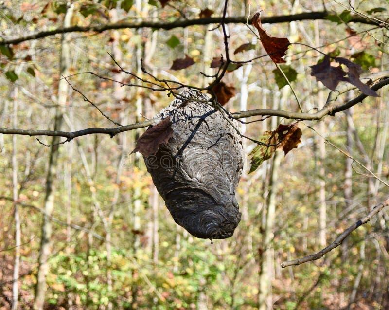Wit-onder ogen gezien horzel` s nest stock foto