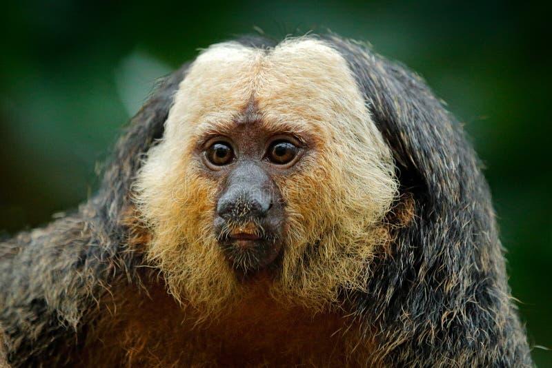Wit-onder ogen gezien Saki, Pithecia-pithecia, detailportret van donkere zwarte aap met wit gezicht, dier in de aardhabitat in Pe stock foto