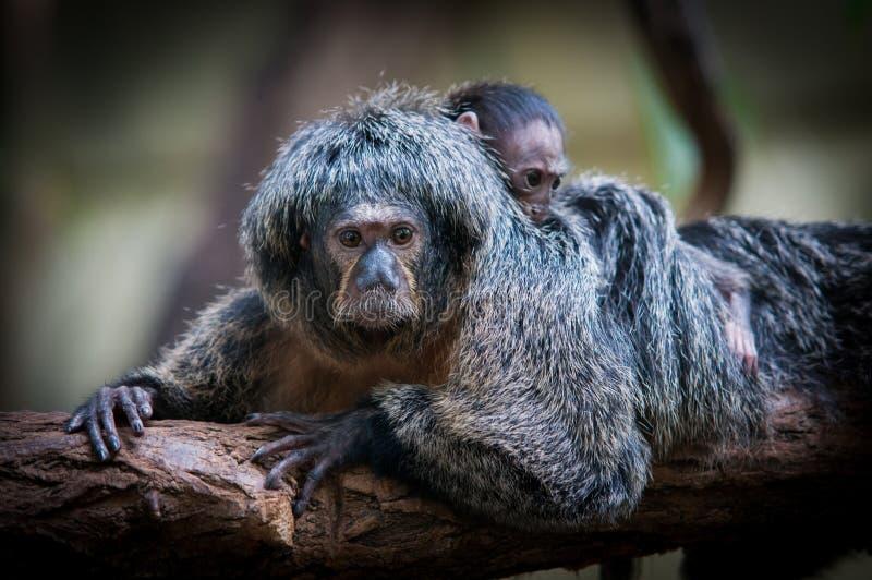 Wit-onder ogen gezien saki, Pithecia-pithecia, Guianan saki en gouden-onder ogen gezien saki, een aap van Nieuwe Wereld Wijfje wi royalty-vrije stock foto's