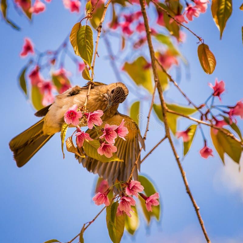 Wit-oogvogel op Kers stock fotografie