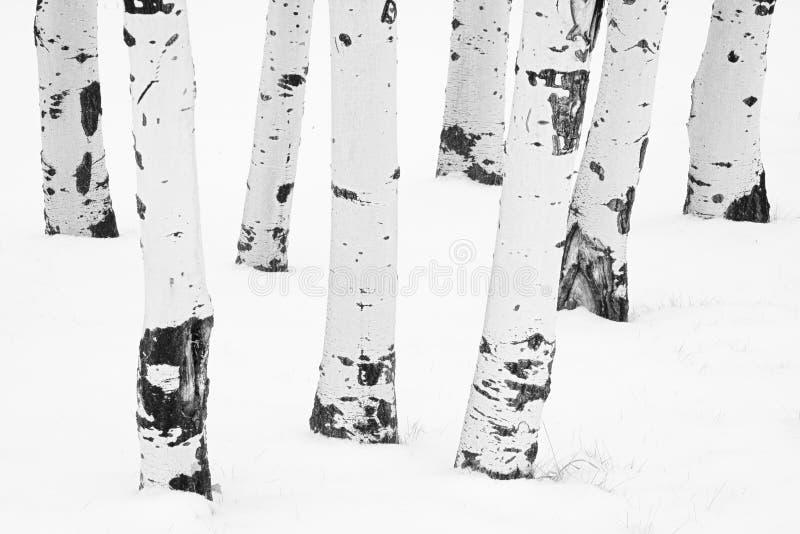 Wit op de Witte Espen van de Winter royalty-vrije stock fotografie