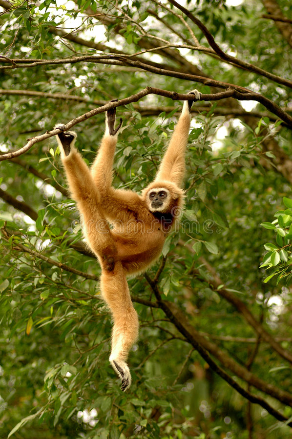 Wit-overhandigde Gibbon royalty-vrije stock afbeelding