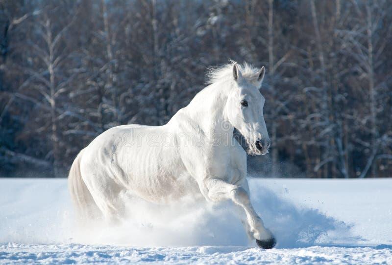 Wit paard royalty-vrije stock fotografie