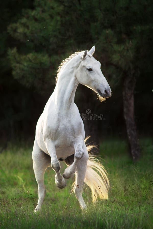 Wit paard die omhoog grootbrengen royalty-vrije stock afbeelding