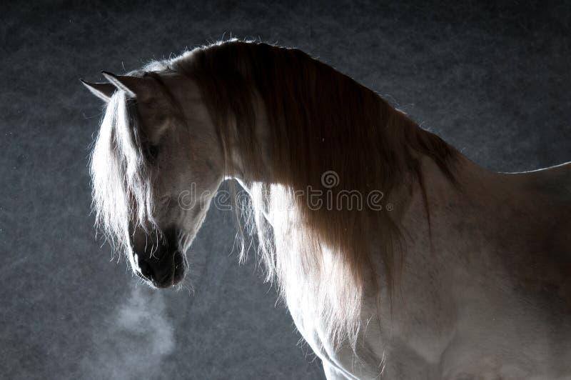 Wit paard op de donkere achtergrond royalty-vrije stock fotografie