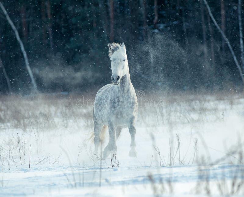 Wit paard op sneeuwgebied royalty-vrije stock fotografie