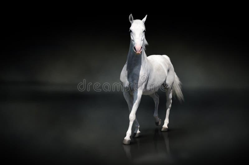 Wit paard op zwarte stock afbeeldingen