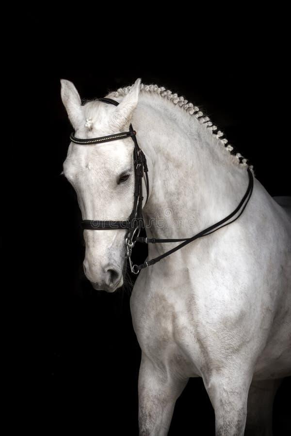 Wit paard op zwarte stock fotografie
