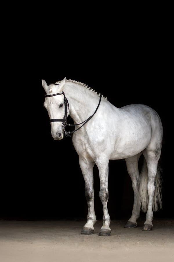 Wit paard op zwarte royalty-vrije stock afbeeldingen