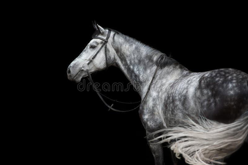 Wit paardportret in teugel stock afbeelding