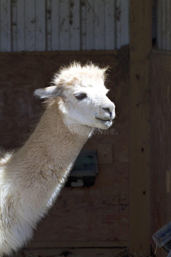 Wit Peruviaans Geschoten Alpacahoofd - Vicugna-pacos royalty-vrije stock foto's