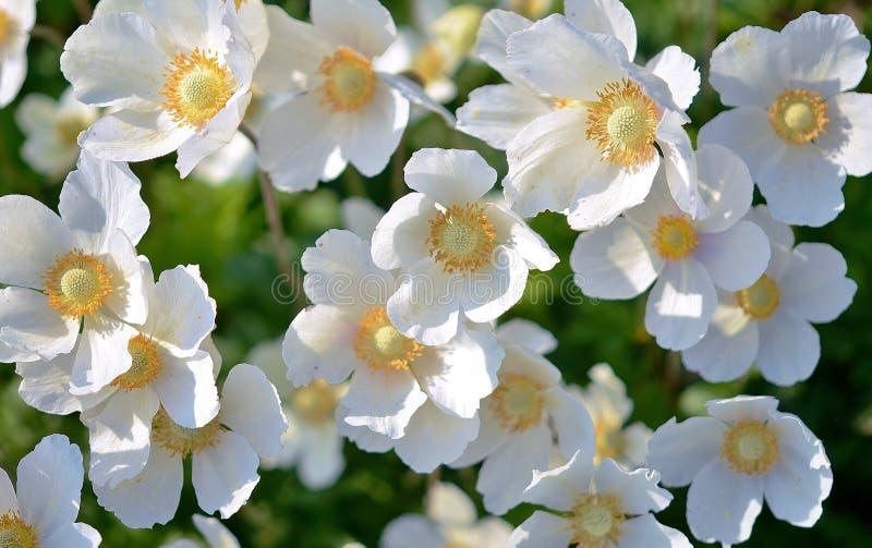 Wit 5: Petaled Flower stock afbeeldingen