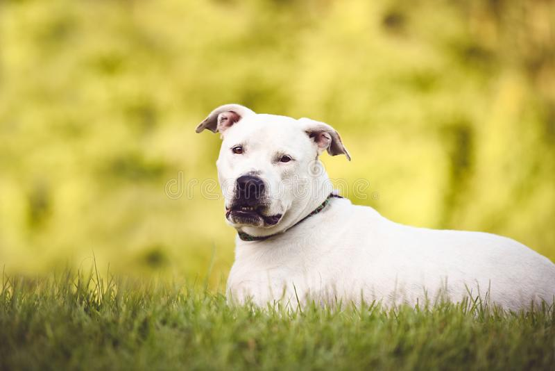 Wit Pit Bull, Amerikaanse Staffordshire Terrier in openlucht stock foto