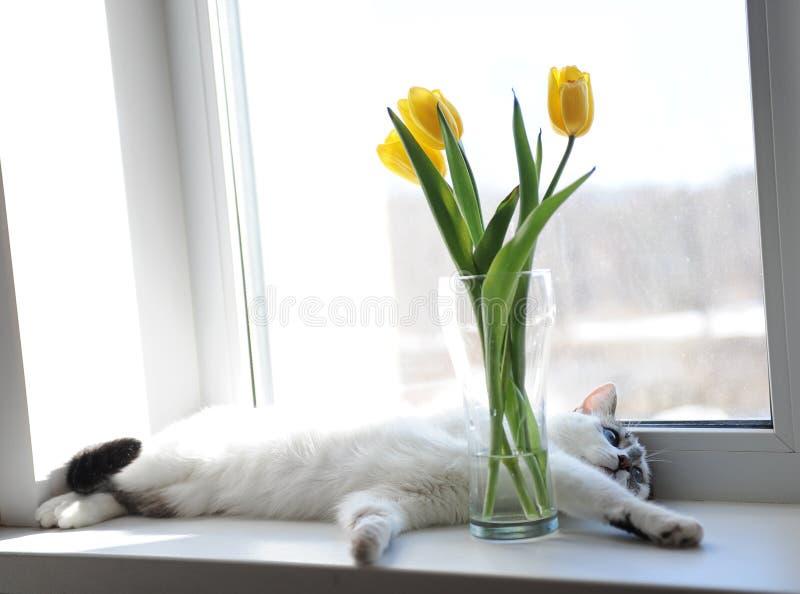 Wit pluizig kat en boeket van bloemen gele tulpen in een glasvaas op een vensterbank stock foto's