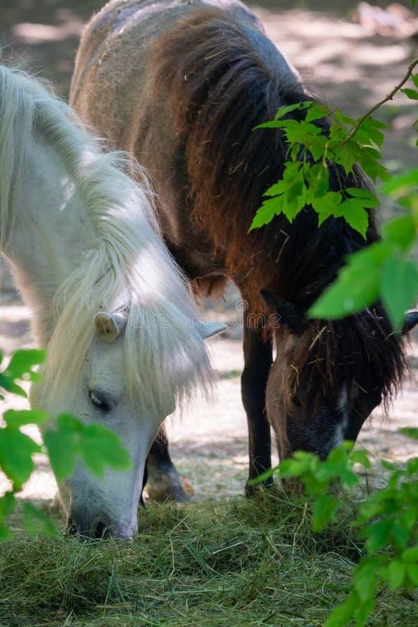 Wit poneypaard of Equus-van het caballuszoogdier dier royalty-vrije stock fotografie