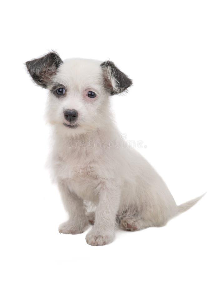 Wit puppy stock afbeelding