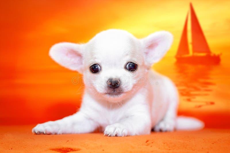Wit puppy Chihuahua op het mooie strand Zonsondergang royalty-vrije stock fotografie