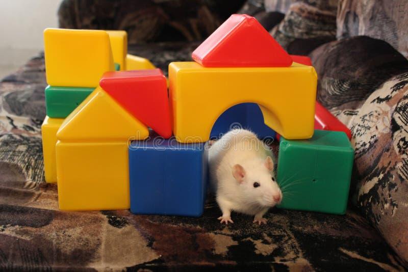 Wit rat en speelgoed stock fotografie