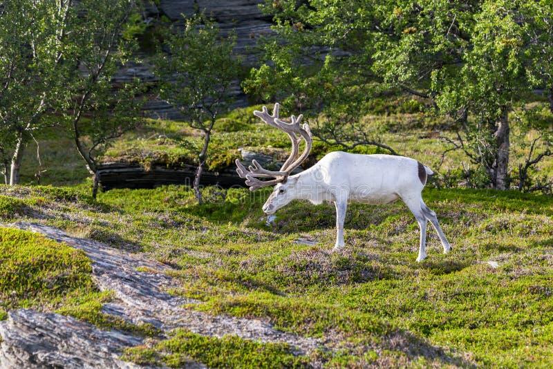 Wit rendier van de Sami-mensen langs de weg in Noorwegen royalty-vrije stock foto