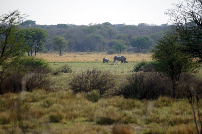 Wit rinoceros en kalf in Botswana royalty-vrije stock fotografie