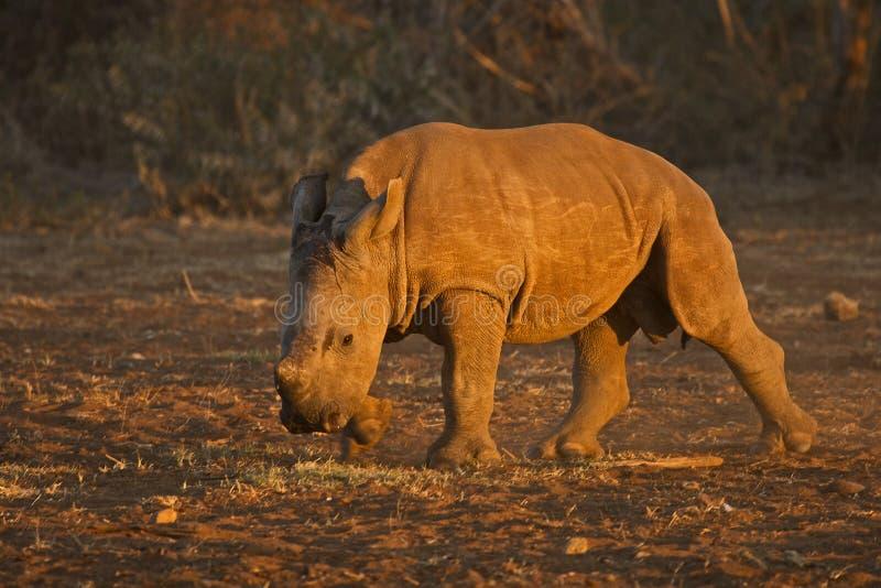 Wit rinoceroskalf royalty-vrije stock foto