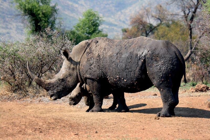 Wit rinocerosmoeder en kalf stock foto's
