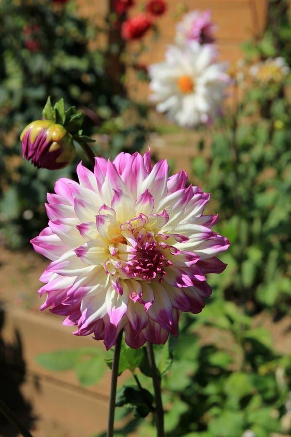 Wit-roze op Dahlia stock afbeeldingen
