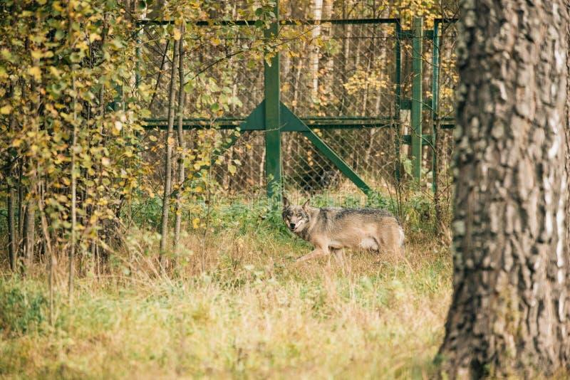 wit-rusland Het lopen Europees-Aziatische Wolf - Canis Lupus royalty-vrije stock afbeeldingen