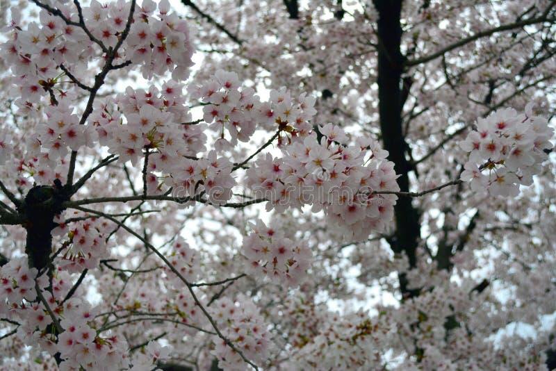 Wit Sakura Flower Trees/Cherry Blossom, Japan stock foto