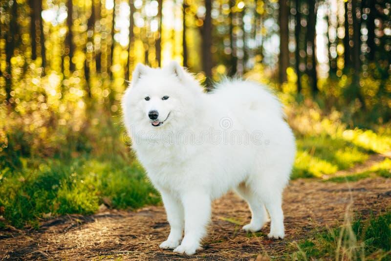 Wit Samoyed-Hond Openluchtportret royalty-vrije stock afbeeldingen