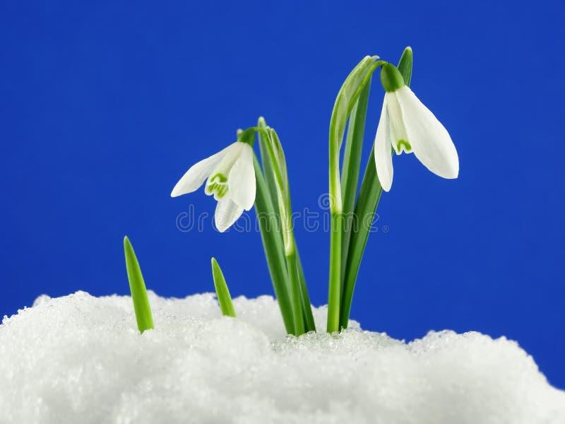 Wit sneeuwklokje royalty-vrije stock fotografie